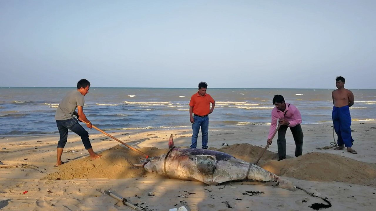 Bottlenose dolphin washes ashore in Surat Thani | The Thaiger