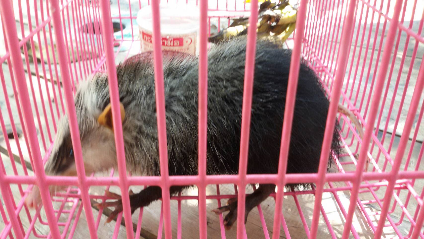 Rare animal – a moonrat – found in Krabi | The Thaiger