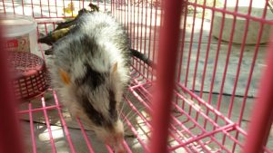 Rare animal - a moonrat - found in Krabi | News by The Thaiger