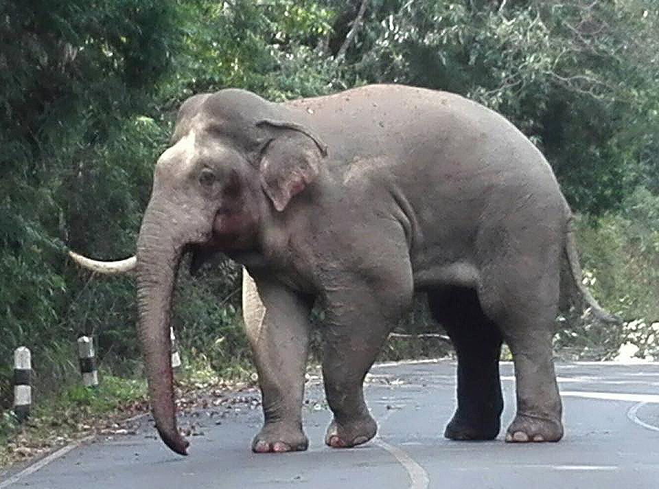 Lost tusk in pachyderm punch-up | The Thaiger