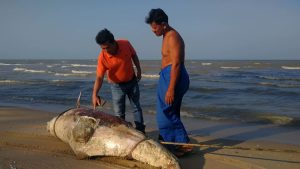 Bottlenose dolphin washes ashore in Surat Thani | News by Thaiger