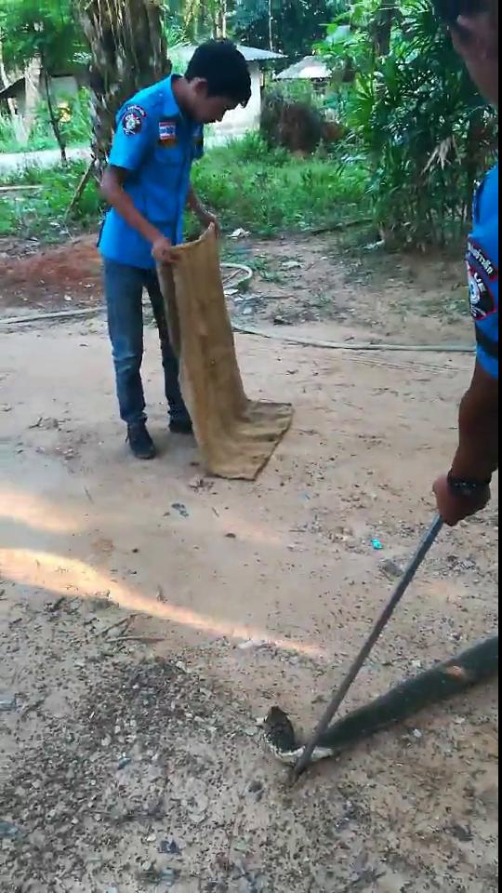 4 metre king cobra found in a Krabi toilet   News by Thaiger