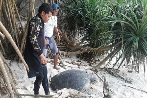 Green sea turtle exhausted after laying eggs   News by Thaiger