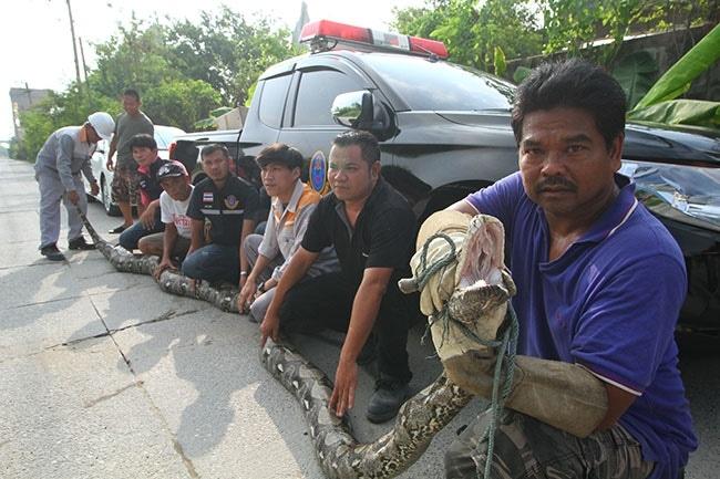 Now, a SEVEN metre python! | The Thaiger