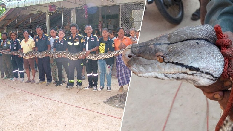 Monster python caught and released in Nakhon Si Thammarat | The Thaiger
