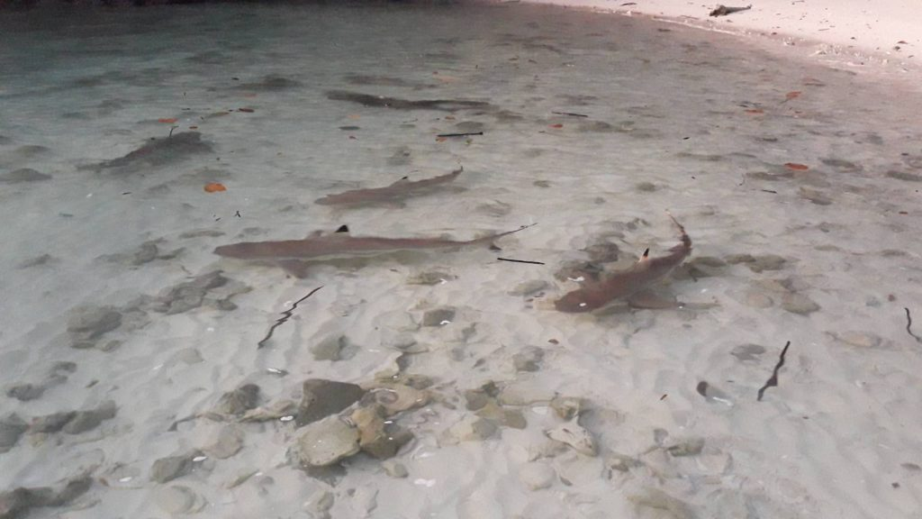 More blacktip reef sharks spotted at Hong Island | News by The Thaiger