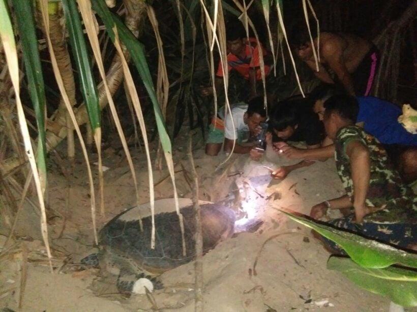 ช่วยเหลือแม่เต่าขึ้นมาวางไข่ที่หาดนุ้ย อุทยานแห่งชาติหมู่เกาะสิมิลัน นับได้ 106 ฟอง | The Thaiger