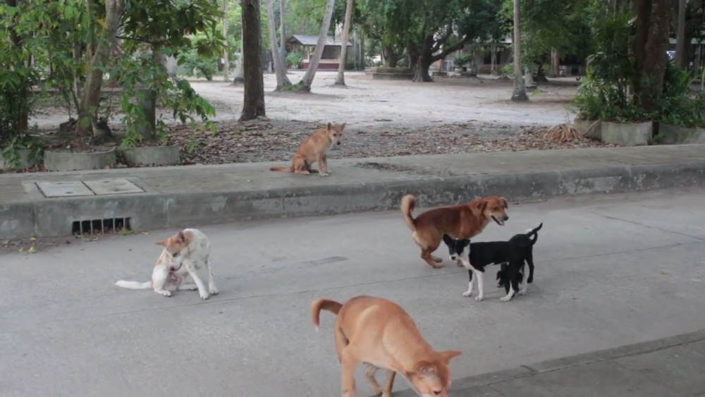 15 year old succumbs to rabies infection in Nong Kai   News by Thaiger