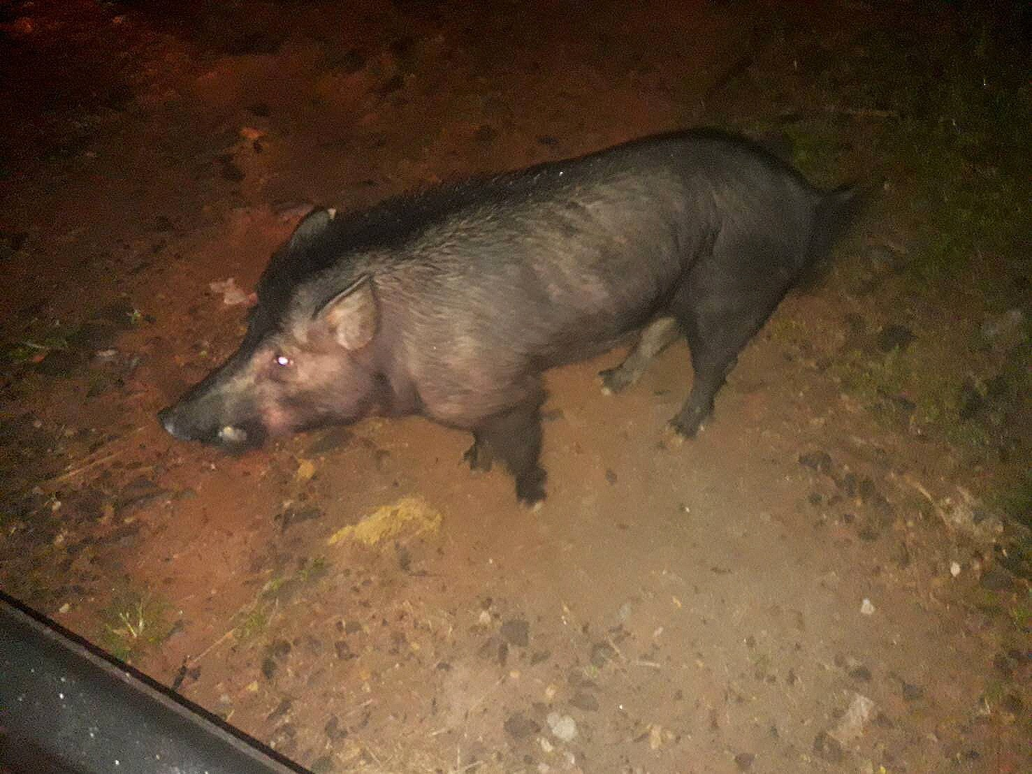 A man killed by a boar in Kathu | The Thaiger