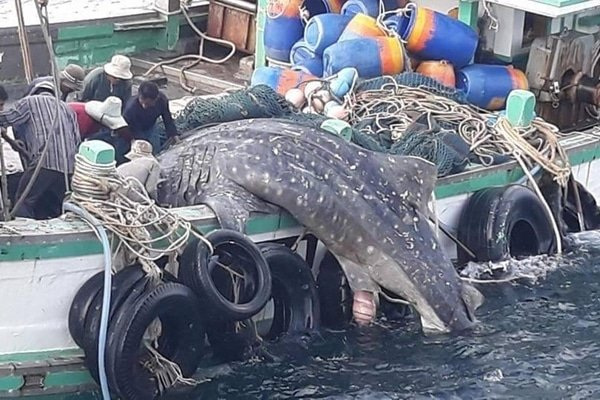 Video of pregnant whale shark caught by fishermen goes viral on social media | The Thaiger