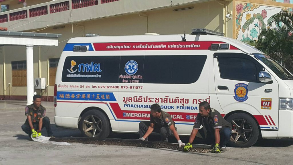 Six metre python released back to the Krabi forest   News by Thaiger