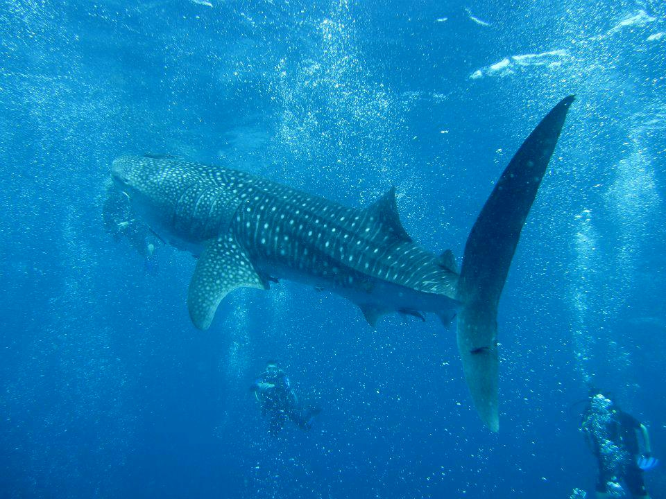 Whale sharks threatened with extinction   News by The Thaiger