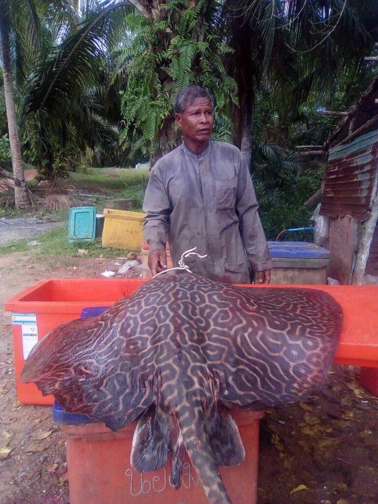 70 kilogram marbled whipray found in Krabi   News by Thaiger