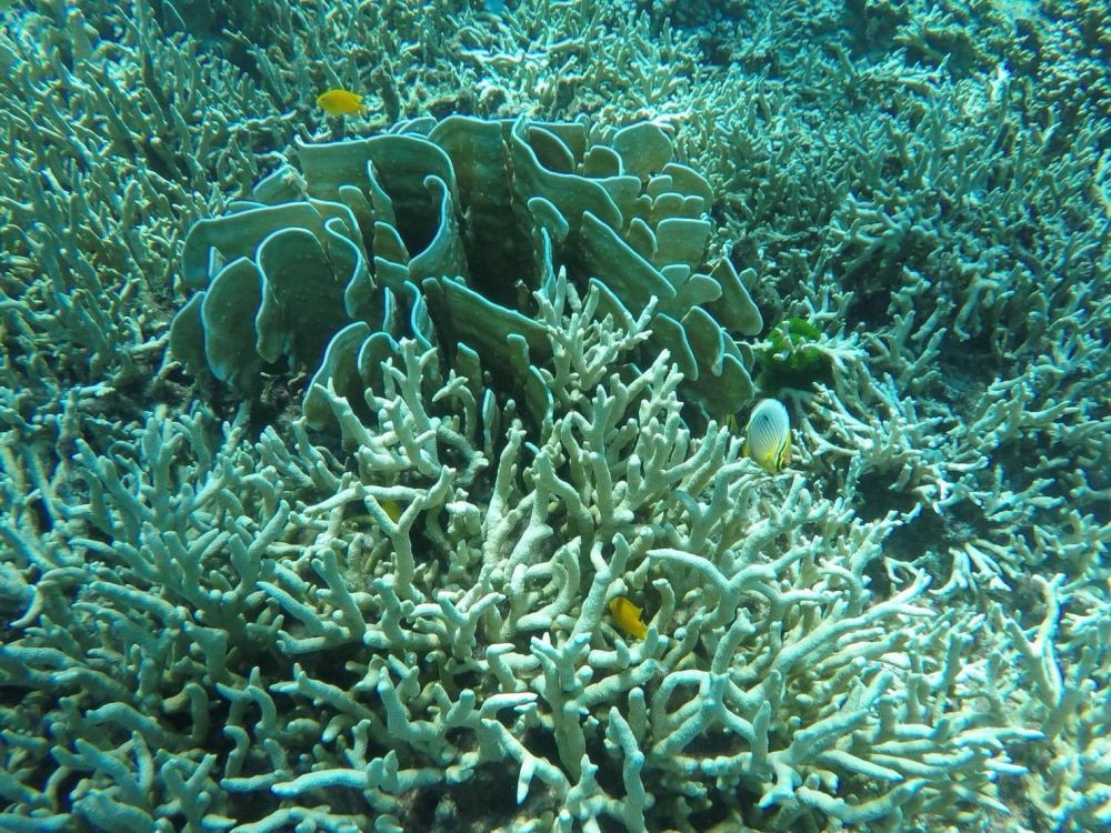 """Coral bleaching report, """"widespread but minor"""".   News by Thaiger"""