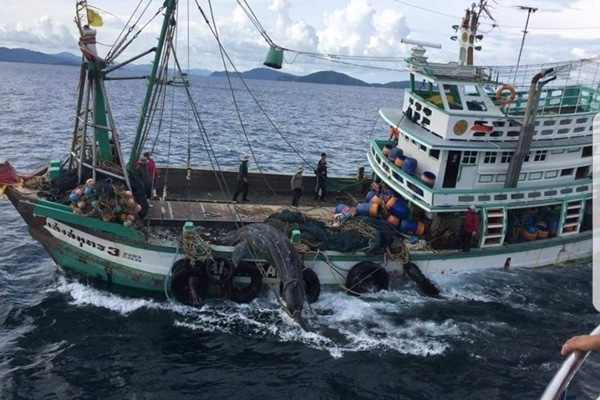 Trawler captains face fines after catching whale shark | News by The Thaiger