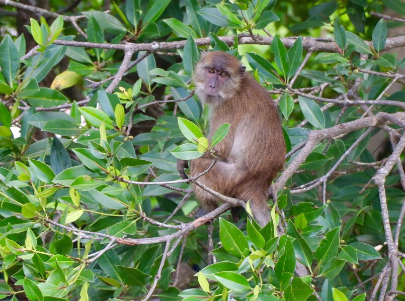 Some monkeys will be moved, most will be sterilised - Phuket | News by The Thaiger