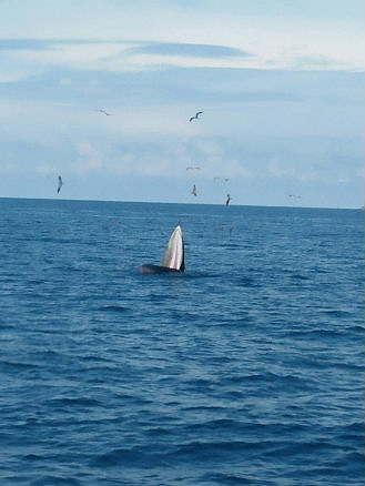 Bryde's whales thrill tourists off Chumpon coast | News by Thaiger