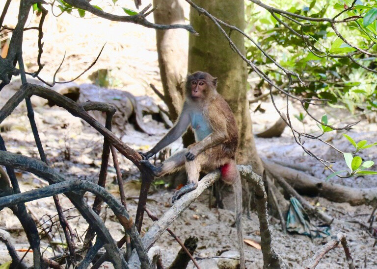 Locals in Rassada agree with monkey birth control and moving to nearby islands | News by Thaiger