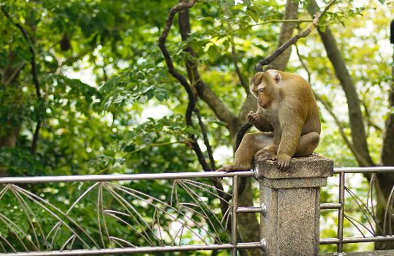 Rang Hill locals want to keep the monkeys as a tourist attraction   The Thaiger