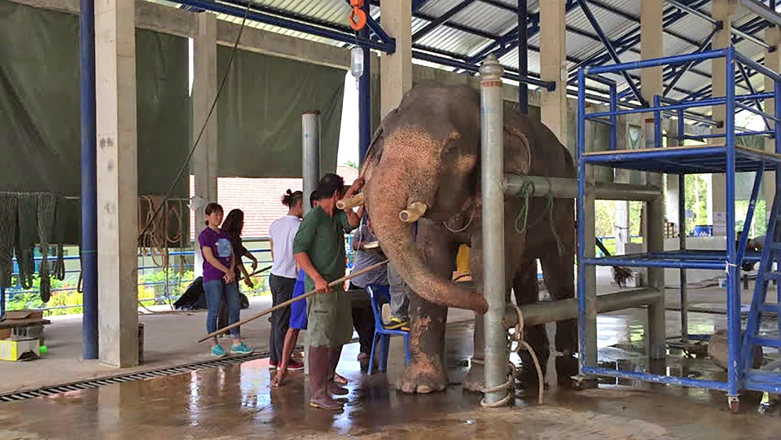 Krabi elephants reporting for treatment at animal hospital | The Thaiger
