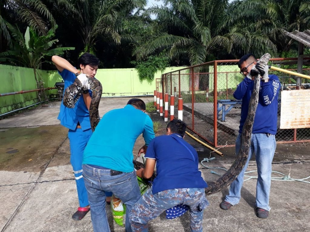 Six metre, duck-eating python caught at a Krabi gas station | News by The Thaiger