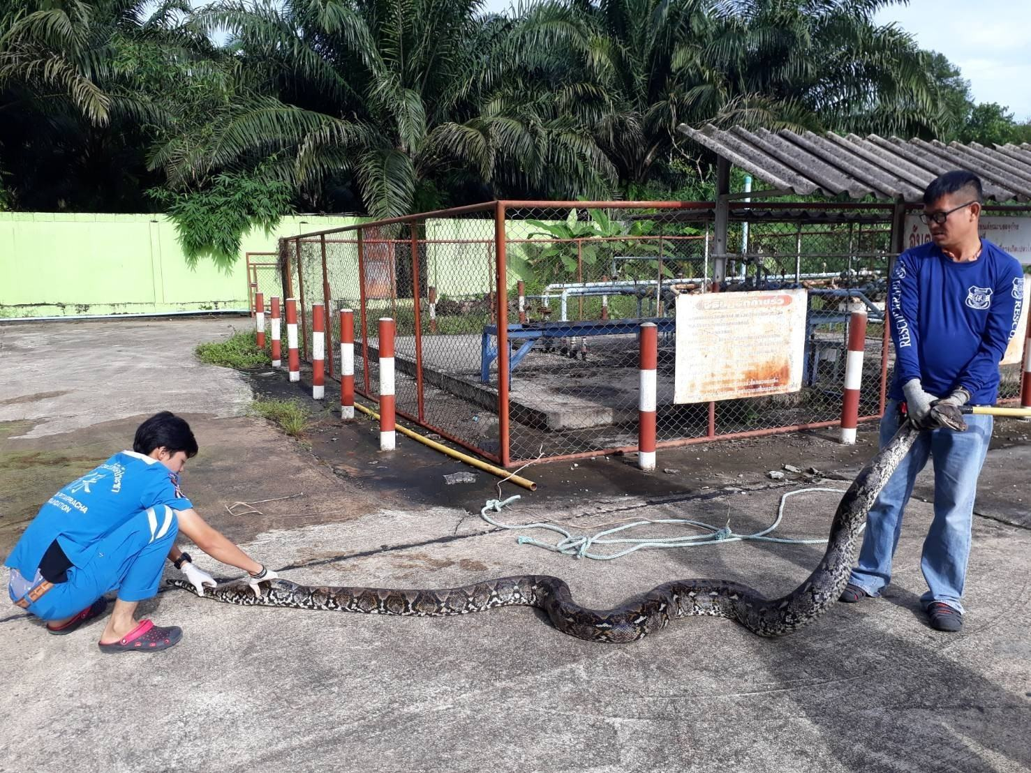 Six metre, duck-eating python caught at a Krabi gas station | The Thaiger