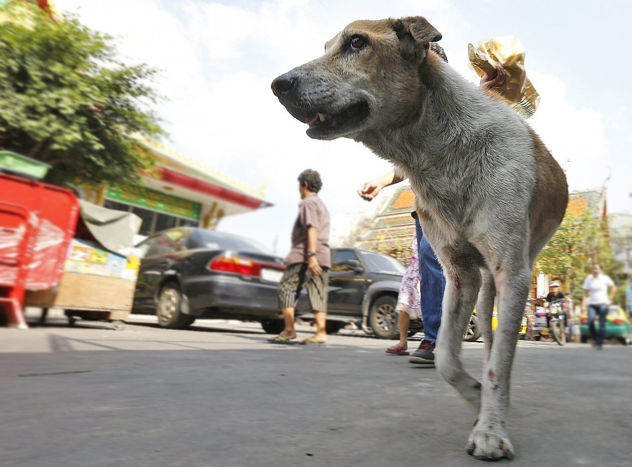 Thailand's 10th rabies victim dies in Rayong   The Thaiger