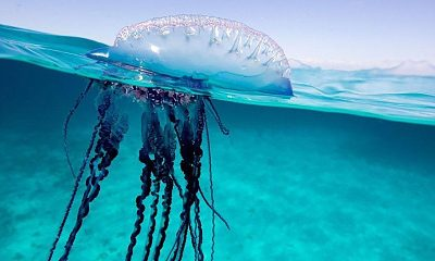 Phuket lifeguards warn about Portuguese man-o-war | The Thaiger