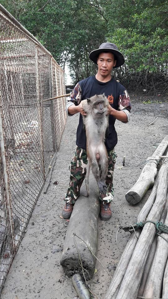 48 long-tailed macaques caught for sterilisation in Paklok   News by Thaiger