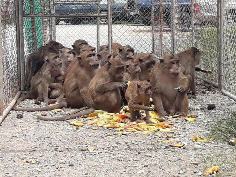 Great Phuket Monkey Exodus of 2018: 37 more monkeys captured in Rassada   News by The Thaiger