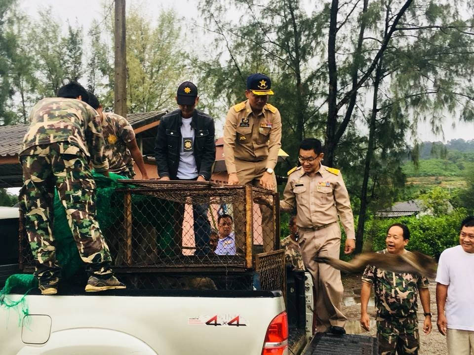 52 monkeys captured in Koh Sirey, 42 sterilised monkeys released in Rassada | News by The Thaiger