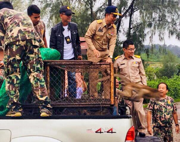 Monkey update: Rassada locals say returned monkeys happy to be home | News by The Thaiger