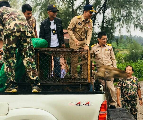 52 monkeys captured in Koh Sirey, 42 sterilised monkeys released in Rassada | The Thaiger