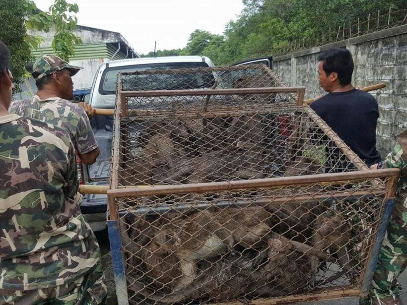 52 monkeys captured in Koh Sirey, 42 sterilised monkeys released in Rassada | News by Thaiger