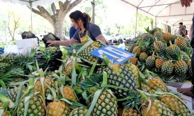 Lampang pineapple farmers picket City Hall over falling prices   The Thaiger