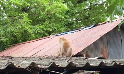 Monkey chase in Chalong | The Thaiger