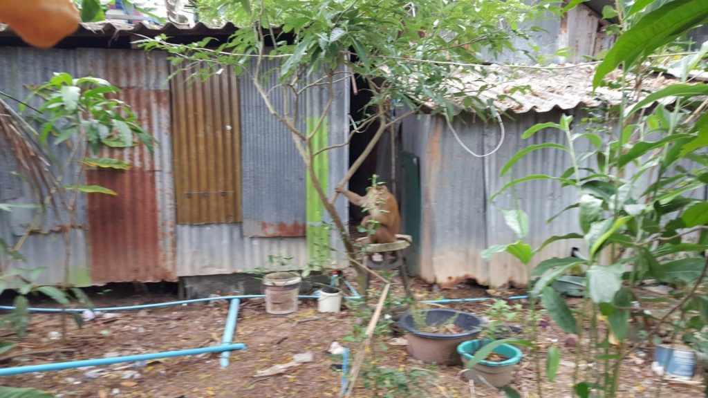 Monkey chase in Chalong   News by Thaiger