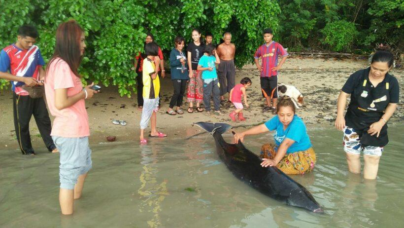 Dead sperm whale found off Phuket under investigation | The Thaiger