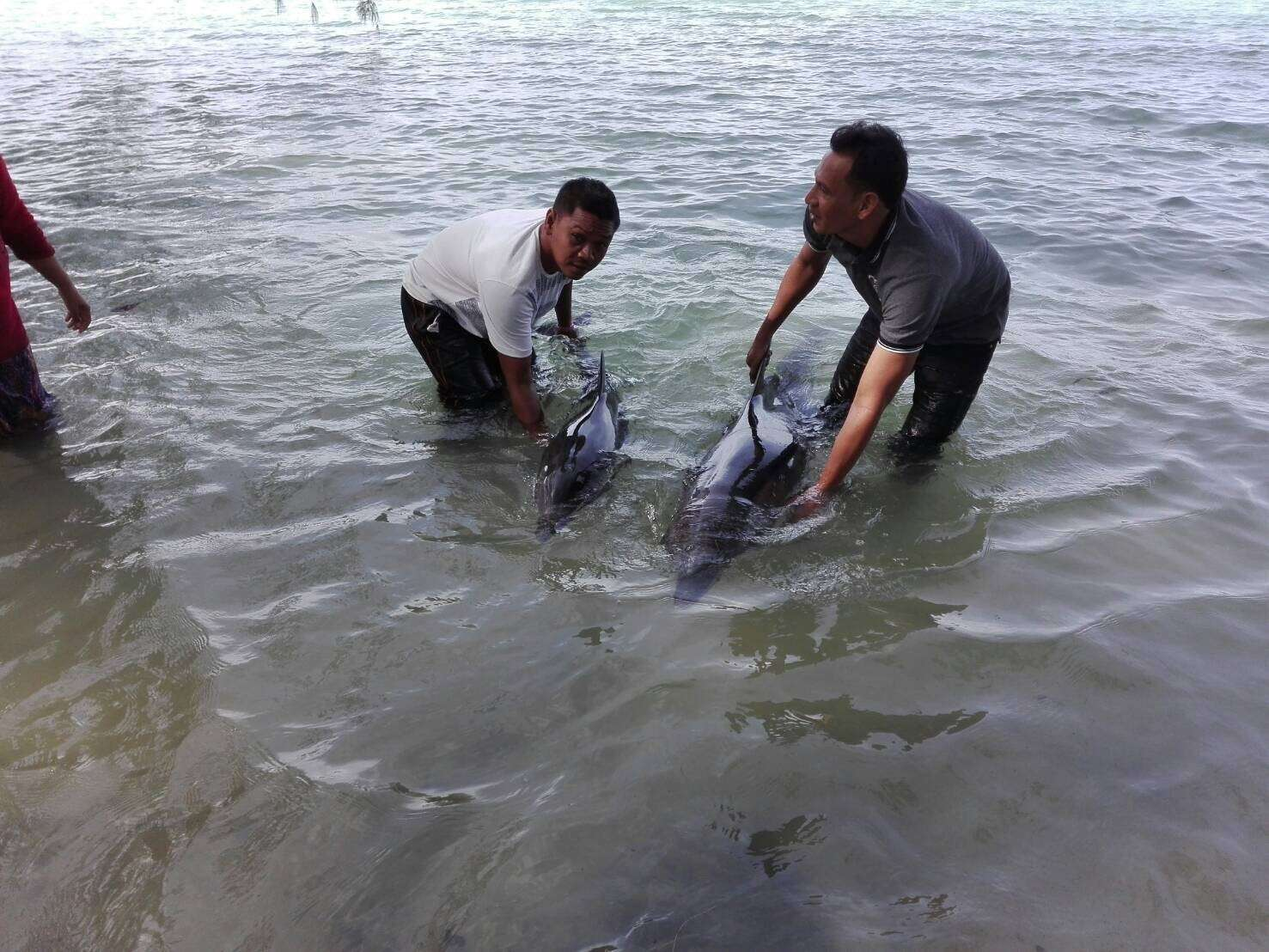 Mother and baby dolphin found off Phuket | The Thaiger