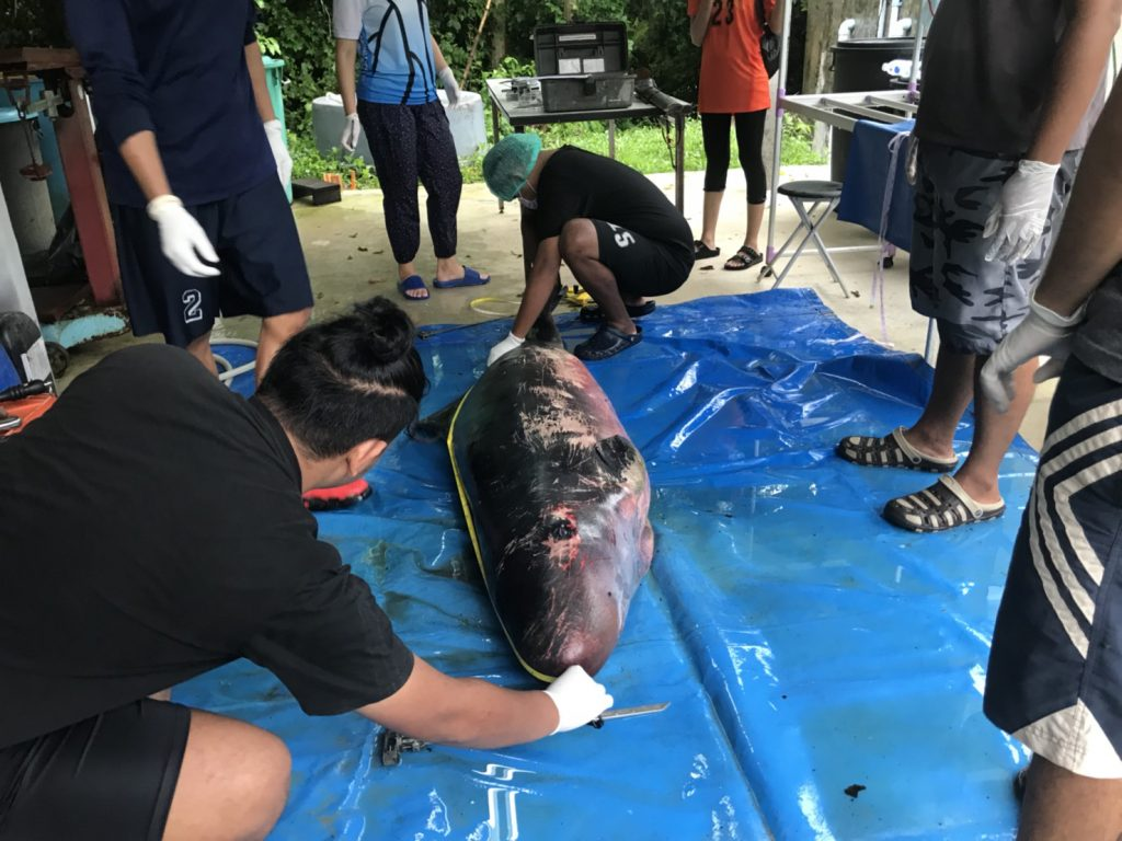 Veterinarians unable to save striped dolphin | News by Thaiger