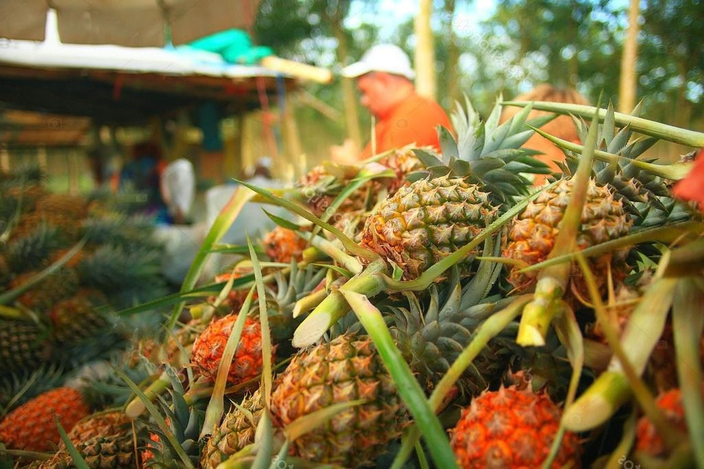 Chiang Rai: Province tackling pineapple oversupply | The Thaiger