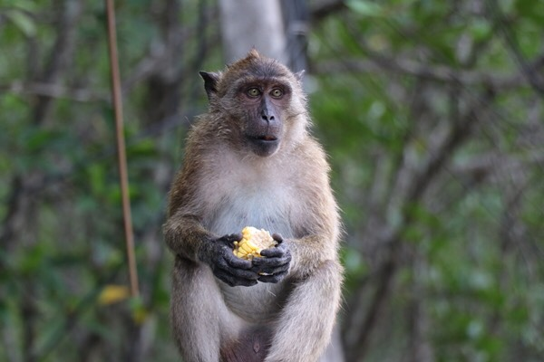 Monkey's birth control starts in Phuket | News by The Thaiger