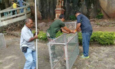 Tiger Cave Temple monkeys getting sterilised in Krabi | The Thaiger