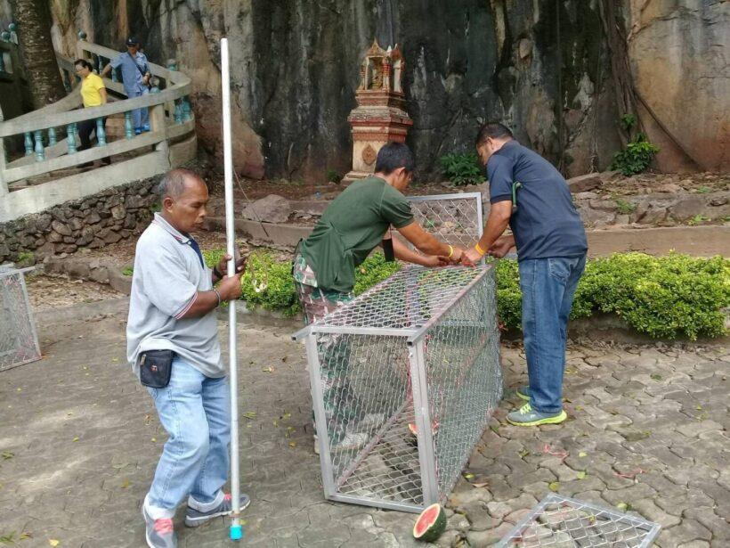 Tiger Cave Temple monkeys getting sterilised in Krabi   The Thaiger