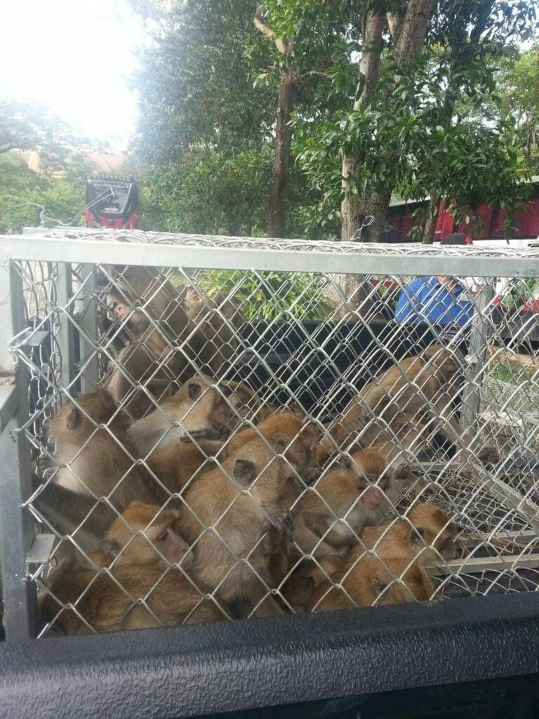 Tiger Cave Temple monkeys getting sterilised in Krabi | News by Thaiger