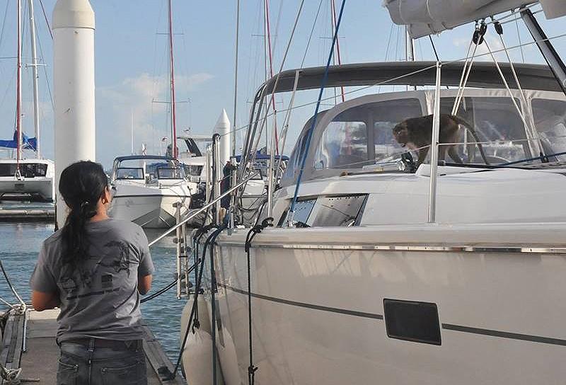 Injured Phuket monkey captured after swimming around Ao Po marina | The Thaiger