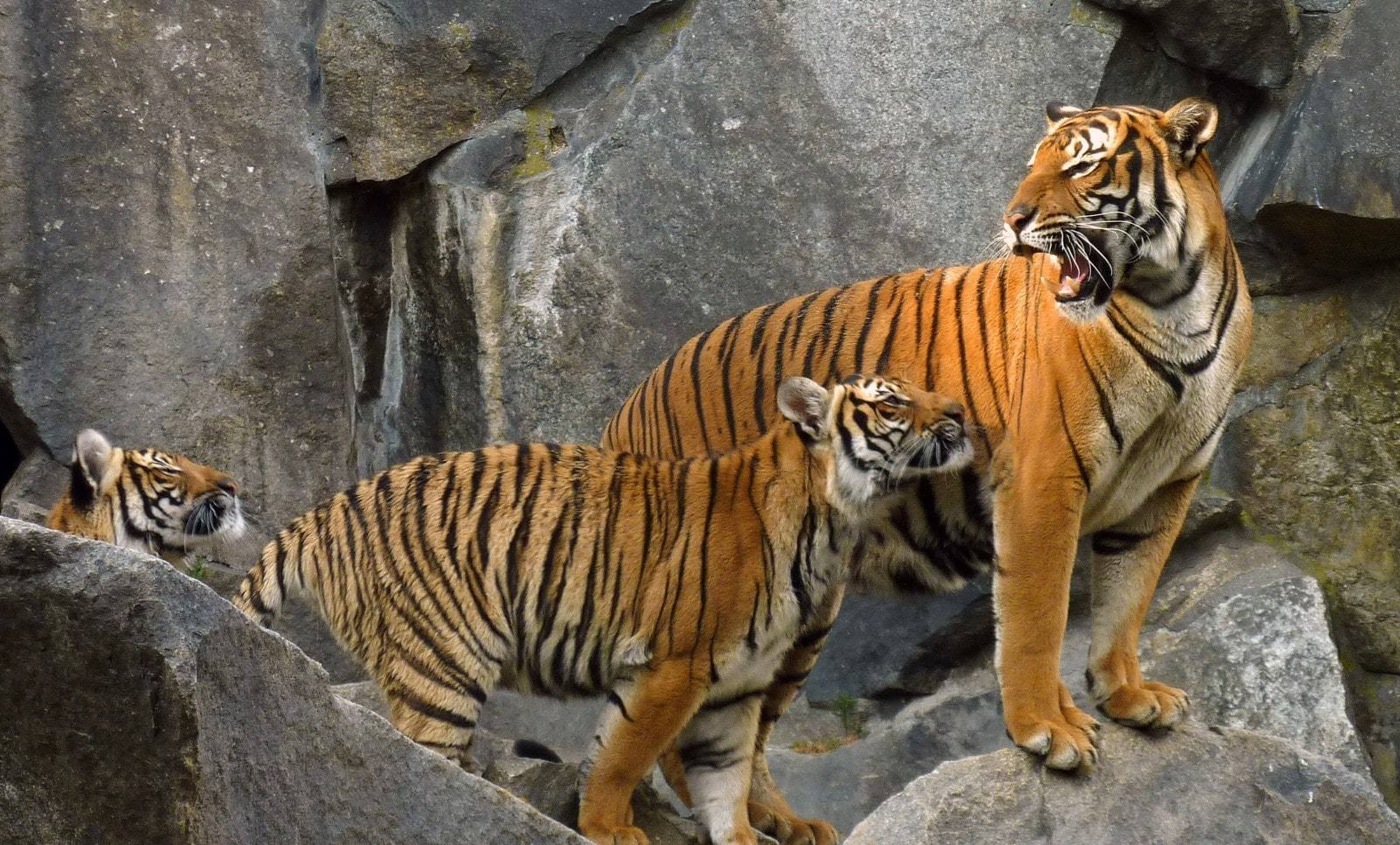 Clawing back the tiger population | The Thaiger