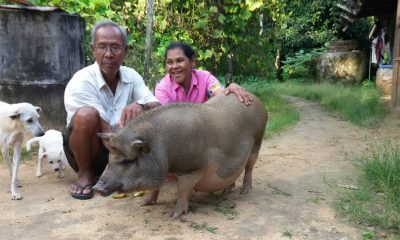 Meet Kluay Hom, Krabi's friendly neighborhood boar | The Thaiger