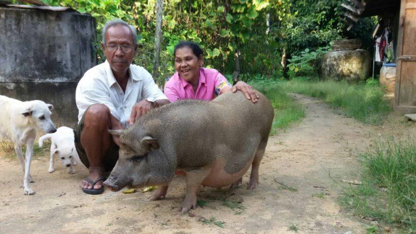 Meet Kluay Hom, Krabi's friendly neighborhood boar   The Thaiger