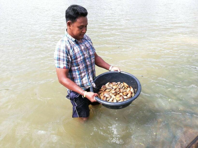 พบหอยแทงฝังชุกชุม ที่เดียวในอ่างเก็บน้ำห้วยทับไม้เหลี่ยม จ.กระบี่ | The Thaiger
